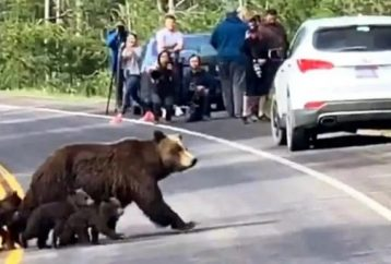 Busy Road Comes To A Dead Stop – All To Let A Mama Grizzly And Her Babies Cross