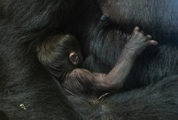 Heartwarming Moment Mother Gorilla Gently Kisses Her Newborn Baby After Giving Birth At US Zoo